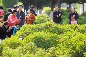 石家庄长安公园:牡丹花开真国色 天香国里醉徜徉