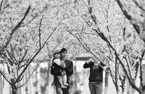 石家庄周边景区迎2016年春天最佳赏花期攻略