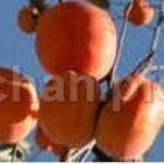 大红袍柿子