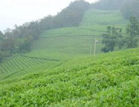 西坪镇--名茶安溪铁观音的发源地