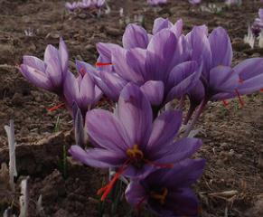 藏红花的工业与经济价值