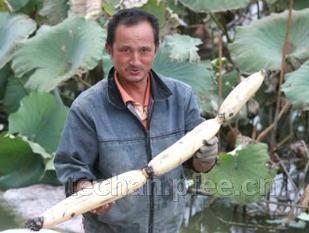 沔城藕的栽培技术