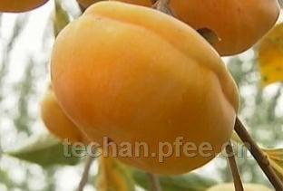 易县磨盘柿子的高产经