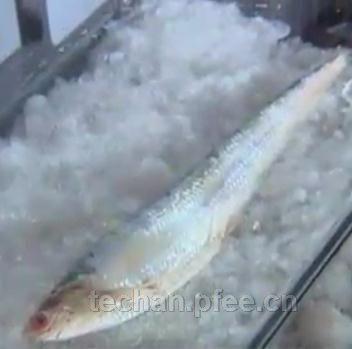 历史上最大的长江刀鱼